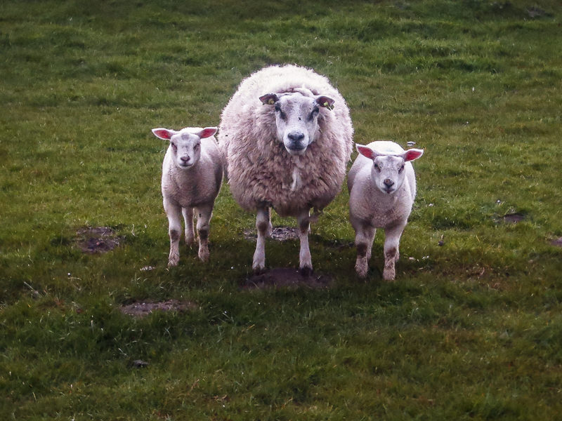 Friesland #9 [schaap met lammetjes]