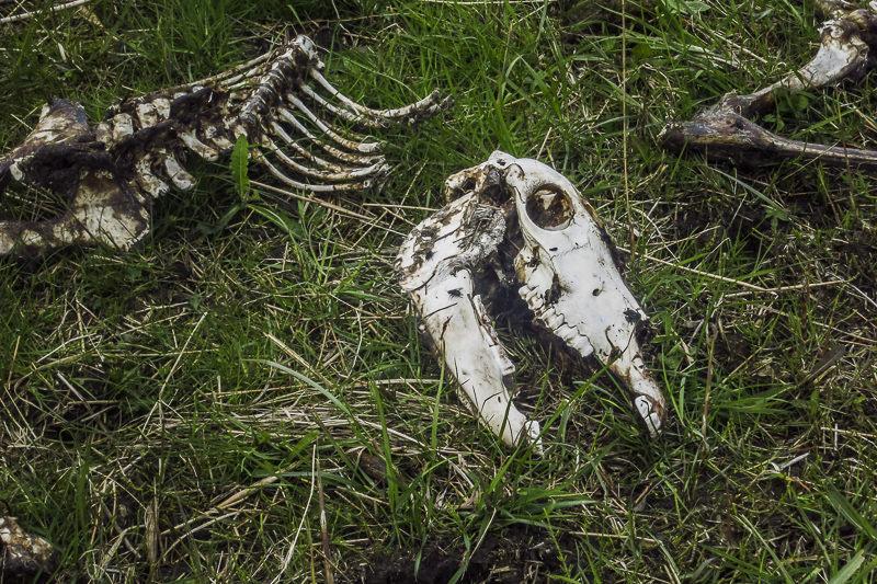 Friesland #7 [dood beest]