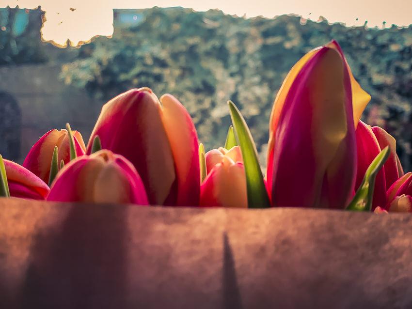 tulpen voor Elfriede
