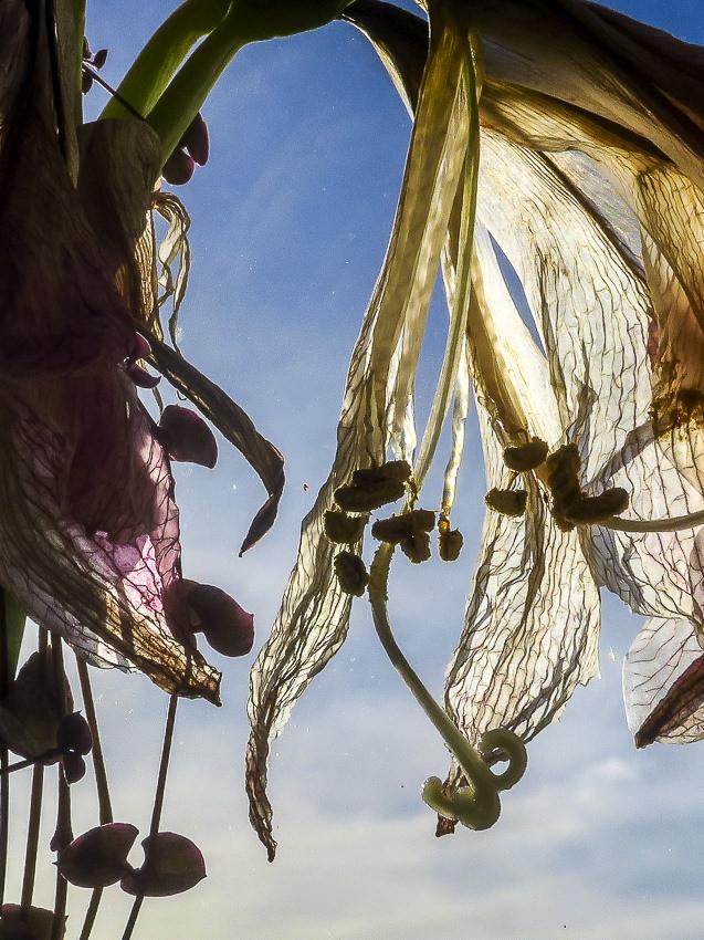 vergane flora