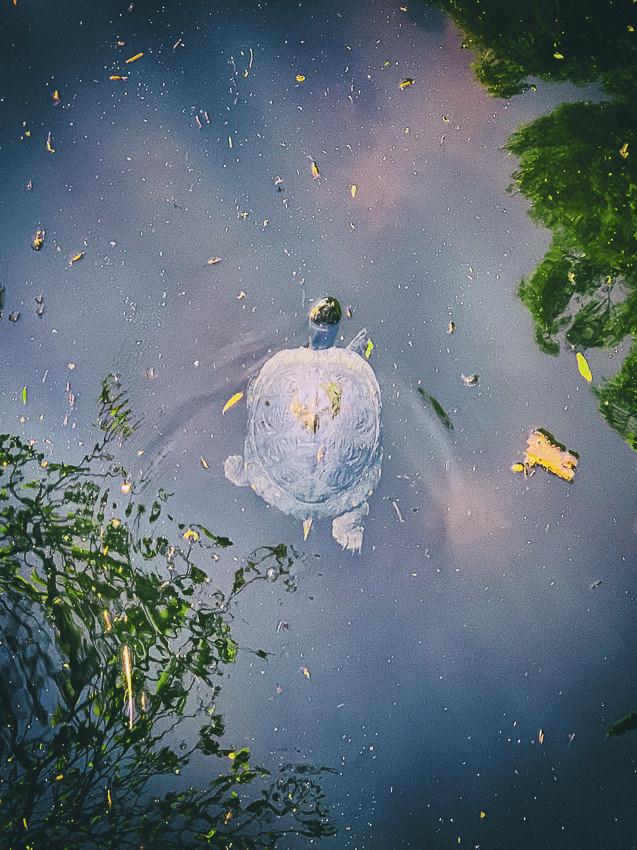 schildpad in Zuiderpark